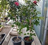 동백나무 블랙로즈 1미터내외|