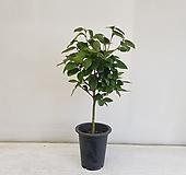 야생동백 빨강/공기정화식물/반려식물/온누리 꽃농원|