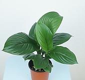 센세이션 스파트필름 스파티필룸 공기정화식물 실내관엽식물 한빛농원|Eecheveria Sensation
