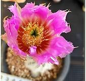 레이스(race cactus) 여광환 실생  