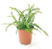 더피고사리 (소) *쟈스민 식물*|
