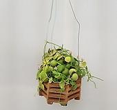 디시디아 넘초크/공기정화식물/반려식물/온누리 꽃농원 