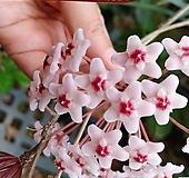 꽃피는호야-초코렛향기꽃대있음|