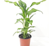 스파트필름 (소) *쟈스민 식물*|