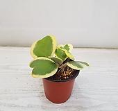 무늬하트호야/공기정화식물/반려식물/온누리 꽃농원|