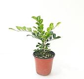 오렌지자스민 (소) *쟈스민 식물*|