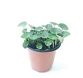 워터코인 (소) *쟈스민 식물*|