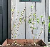 목수국 매지컬캔들 마당 정원용 분달이 Hydrangea macrophylla