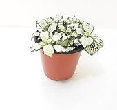 피토니아 화이트스타 (소) *쟈스민 식물* 