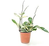 호야 (소) *쟈스민 식물*|