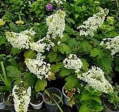 겹떡갈잎수국 Hydrangea macrophylla
