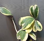 무늬하트호야(수입식물) |