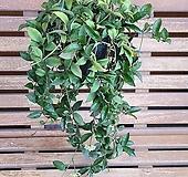 향기나는 호야(라쿠노사)|Hoya carnosa
