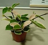 호야포트분-9센치포트-식물인기1위|