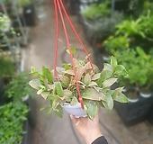 호야록타오 룩타오 중대품 공중식물 수입식물 50~70cm 149|