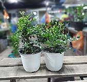 원플원 2개 오렌지자스민 중품 25~40cm 129 야생화 공기정화식물|