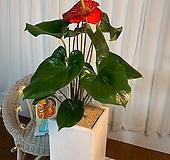 공기정화식물 안시리움 높이약 70cm|