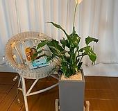공기정화식물 스파트필름 높이약70cm|