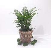 스파트필름 (중) 리본 바구니 *쟈스민 식물*|