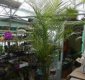 아레카야자특특대품2번-높은키2.5미터-로비,베란다,사무실, 카페-동일품배송 |