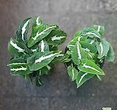 원플원 2개 벨벳싱고니움 싱고늄 소품 15~25cm 빌로드싱구니움 실내공기정화식물|
