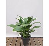 스파트필름 집안 인테리어식물 카페식물|