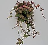 호야(통통한 잎과 물드는 모습이 이쁜아이~)|