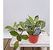 환희호야 공기정화식물 집안 인테리어 카페식물|
