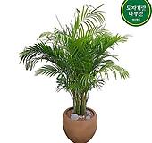 아레카야자 (고급) 특대품 인테리어식물 홍보실화분선물 배달|