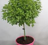 바질트리나무|