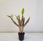 러브하와이/공기정화식물/반려식물/온누리 꽃농원|
