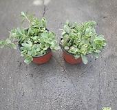 원플원 2개 카멜레온 채송화 10~20cm 55 다육식물 공기정화식물|