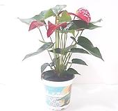 안시리움 (소) *쟈스민 식물*|