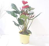 안시리움 (중) *쟈스민 식물*|