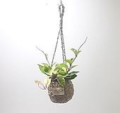 호야 (소) 행잉 바구니 *쟈스민 식물*|