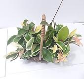 호야 (소)x2 핸들 반달 바구니 *쟈스민 식물*|