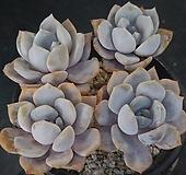 티라미스 (4두한몸묵은둥이) X052109|Echeveria Tiramisu
