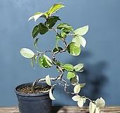 나무이야기521-4 유원무늬동백, 무늬동백 |