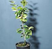 나무이야기521-5 유원무늬동백, 무늬동백|