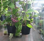 원플원 2개 호야카노사호야 50~80cm 199 공중식물 에어플랜트|