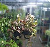 원플원 2개 호야록타오룩타오 50~80cm 195 공중식물 에어플랜트|