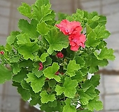카나데제라늄 중대품 35~50cm 99 야생화 반려식물|pelargonium inquinans