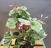 마담살롱제라늄(분홍색이 선명하게 피는아이에요) 꽃이계속 피고지고해요|