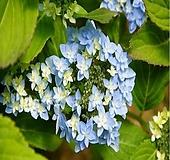 제주 겹 산수국(송림)중품-1주 Hydrangea macrophylla