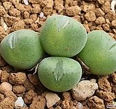코노피튬 105-8201 Conophytum