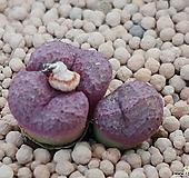 운영옥코노피튬 Conophytum