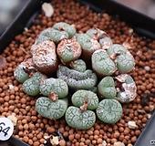귀한 위트버젠스철화 코노피튬철화 0522-64  Conophytum Wittebergense