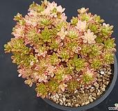 소인제금6498 Aeonium sedifolius