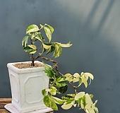 나무이야기 524-1유원무늬동백,삽목3년차,토종동백|
