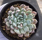 검은발톱자라고사 02421|Echeveria mexensis Zaragosa